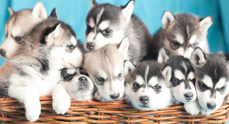 puppies-740x400