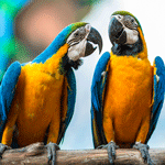 bigstock-A-Pair-Of-Parrots-44251768-sq
