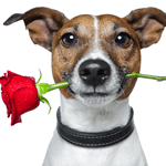 bigstock-dog-with-a-red-rose-33362375-square