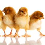 bigstock-Group-of-small-chicks-Isolate-56428997sq